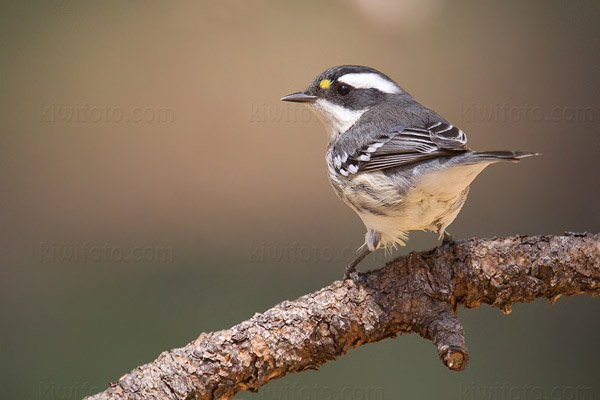 Black-throated Gray Warbler Picture @ Kiwifoto.com