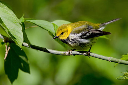 Black-throated Green Warbler Photo @ Kiwifoto.com