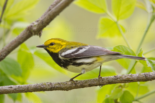 Black-throated Green Warbler Image @ Kiwifoto.com