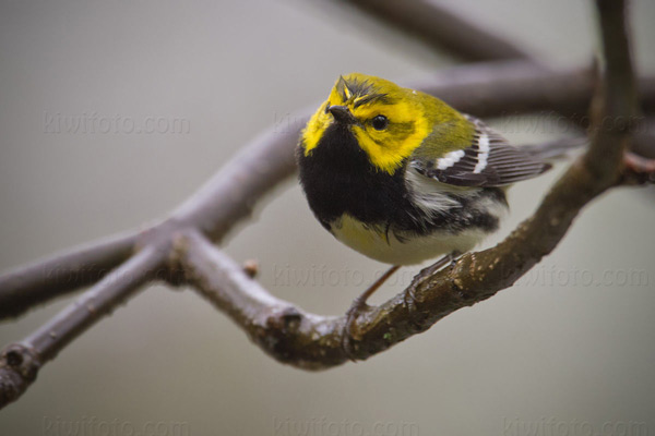 Black-throated Green Warbler Picture @ Kiwifoto.com