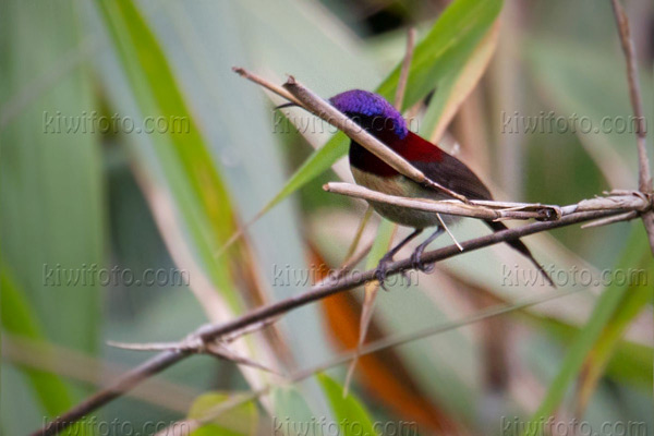 Black-throated Sunbird Image @ Kiwifoto.com