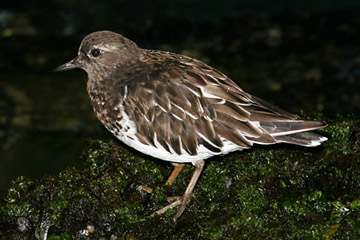 Black Turnstone Photo @ Kiwifoto.com