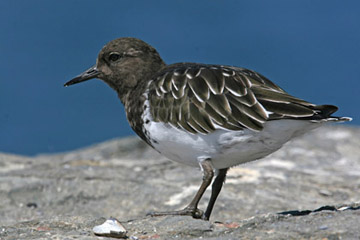 Black Turnstone Picture @ Kiwifoto.com