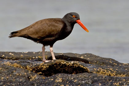 Blackish Oystercatcher Photo @ Kiwifoto.com