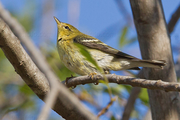 Blackpoll Warbler Picture @ Kiwifoto.com
