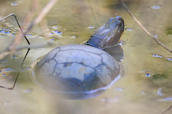 Blandings Turtle Picture @ Kiwifoto.com
