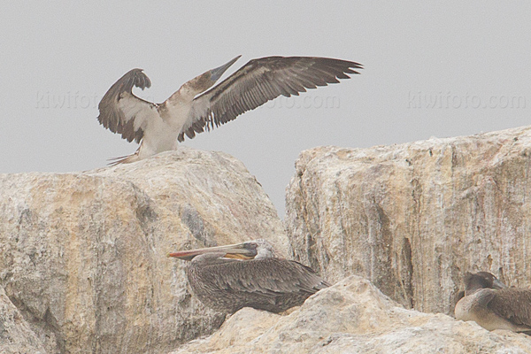 Blue-footed Booby Picture @ Kiwifoto.com
