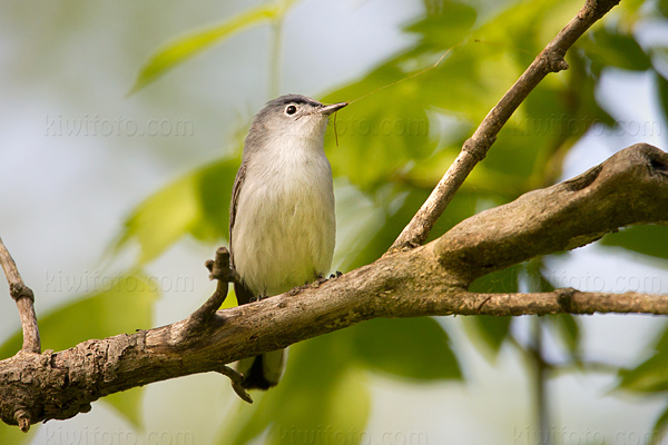 Blue-gray Gnatcatcher Photo @ Kiwifoto.com