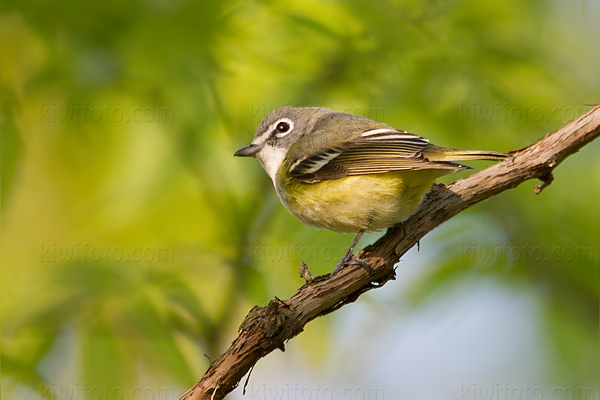 Blue-headed Vireo Image @ Kiwifoto.com