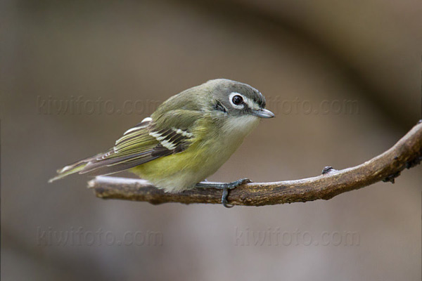 Blue-headed Vireo, Crane Creek, Ohio