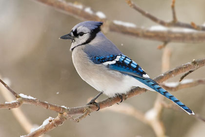 Blue Jay Photo @ Kiwifoto.com
