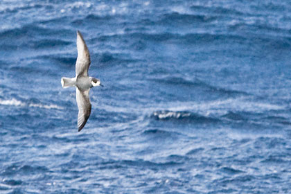 Blue Petrel Photo @ Kiwifoto.com