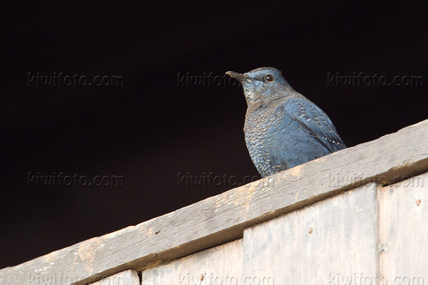 Blue Rock-Thrush Photo @ Kiwifoto.com
