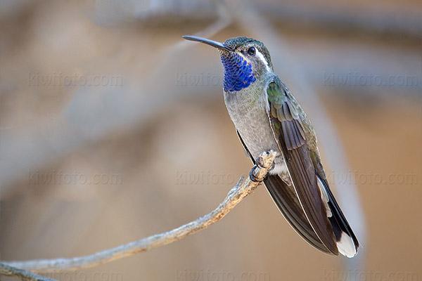 Blue-throated Mountain-Gem @ Portal, AZ