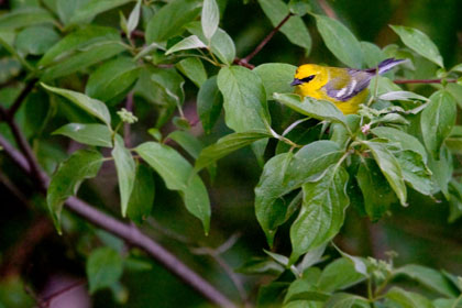 Blue-winged Warbler Photo @ Kiwifoto.com