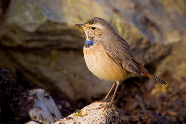 Bluethroat Photo @ Kiwifoto.com