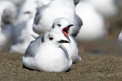 Bonaparte's Gull Photo @ Kiwifoto.com