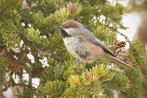 Boreal Chickadee Photo @ Kiwifoto.com
