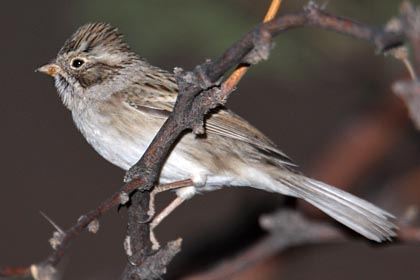 Brewer's Sparrow Photo @ Kiwifoto.com