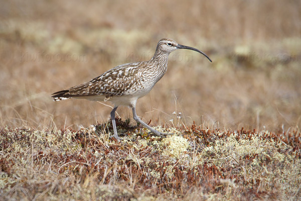 Bristle-thighed Curlew Picture @ Kiwifoto.com
