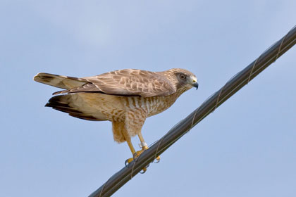 Broad-winged Hawk Image @ Kiwifoto.com