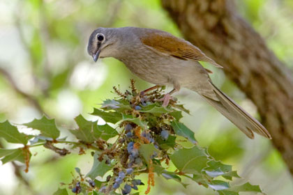 Brown-backed Solitaire (Feeding on Wilcox Barberry)