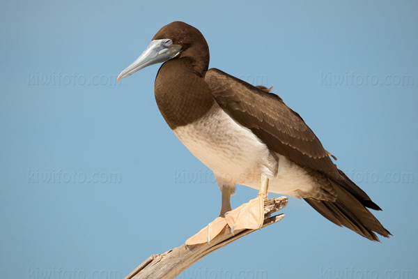 Brown Booby Picture @ Kiwifoto.com