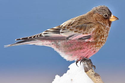 Brown-capped Rosy-Finch Picture @ Kiwifoto.com
