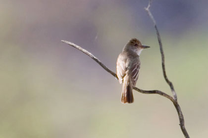 Brown-crested Flycatcher Picture @ Kiwifoto.com