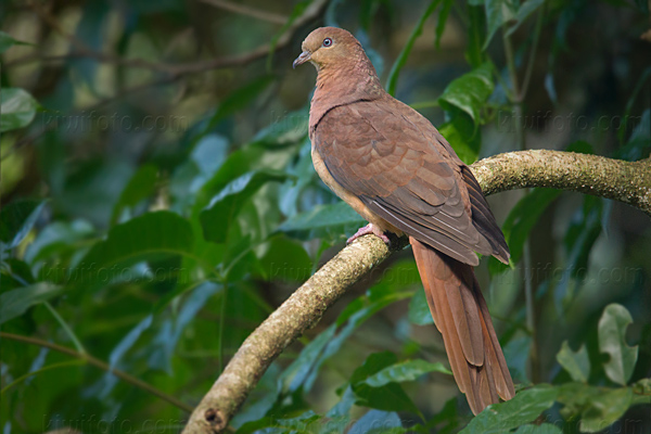Brown Cuckoo-dove Photo @ Kiwifoto.com