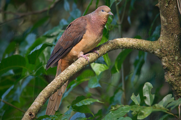 Brown Cuckoo-dove Image @ Kiwifoto.com