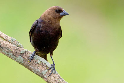 Brown-headed Cowbird Picture @ Kiwifoto.com