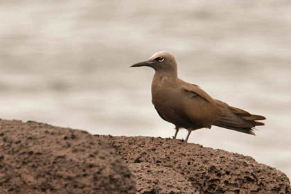 Brown Noddy Photo @ Kiwifoto.com