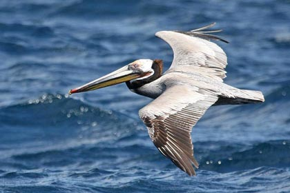Brown Pelican Picture @ Kiwifoto.com