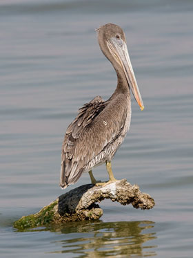Brown Pelican (juvenile)