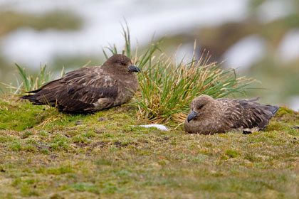 Brown Skua Photo @ Kiwifoto.com
