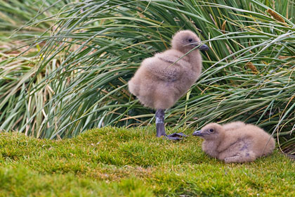 Brown Skua (chicks)