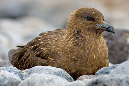 Brown Skua (Subantarctic Brown Skua)