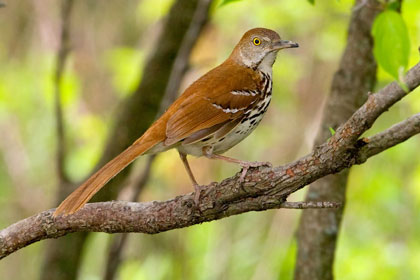 Brown Thrasher Picture @ Kiwifoto.com