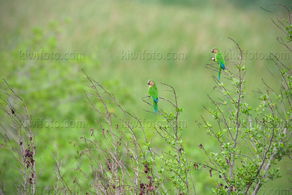 Brown-throated Parakeet Image @ Kiwifoto.com