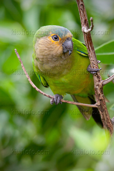 Brown-throated Parakeet Photo @ Kiwifoto.com