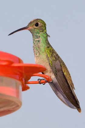 Buff-bellied Hummingbird Picture @ Kiwifoto.com