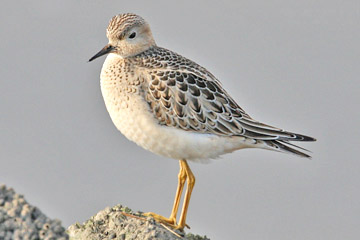Buff-breasted Sandpiper Picture @ Kiwifoto.com