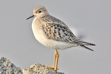 Buff-breasted Sandpiper Photo @ Kiwifoto.com