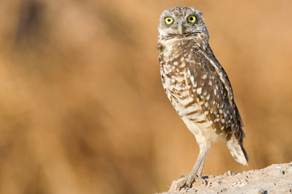 Burrowing Owl Photo @ Kiwifoto.com