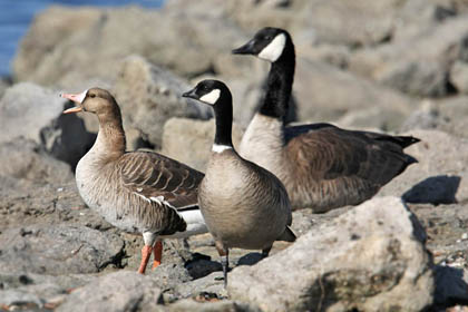 Cackling Goose (Greater White-fronted Goose, Cackling Goose, Canada Goose)