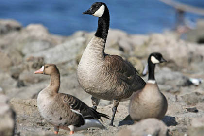 Cackling Goose (Greater White-fronted Goose, Canada Goose, Cackling Goose)