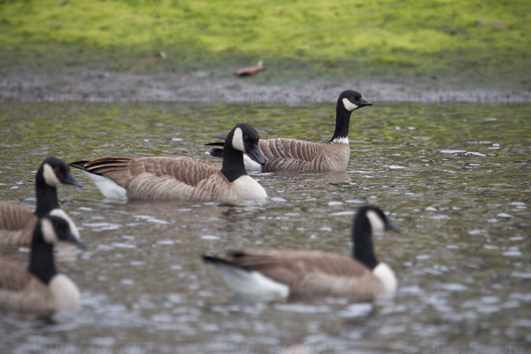 Cackling Goose Photo @ Kiwifoto.com