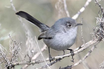 California Gnatcatcher Photo @ Kiwifoto.com