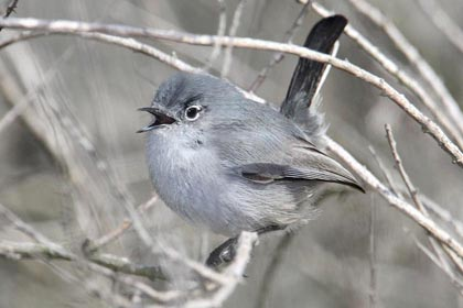 California Gnatcatcher Picture @ Kiwifoto.com